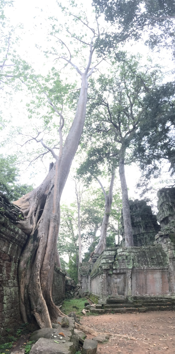 siem reap angkor wat ta prohm tall tree pano